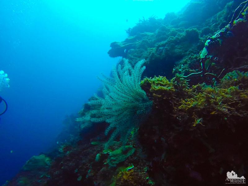 Sea lily