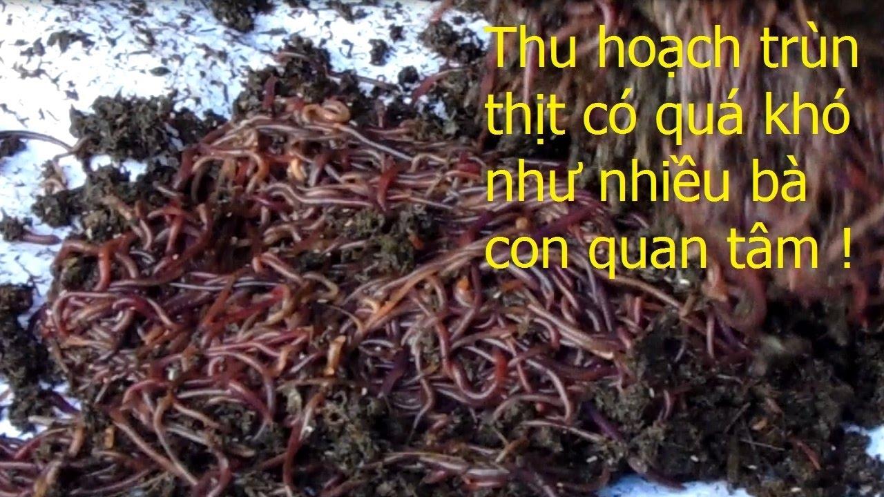 nuoi-trun-que-huong-dan-cach-thu-hoach-trun-que-kimgiatrang-com