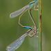 Ischnura graellsii by ROQUE141