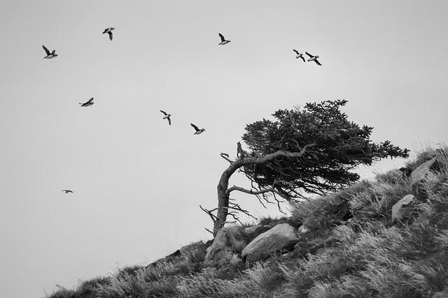 puffin tree