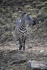 zebra facing front wide