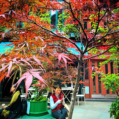 Japanese Maple in Neal's Yard