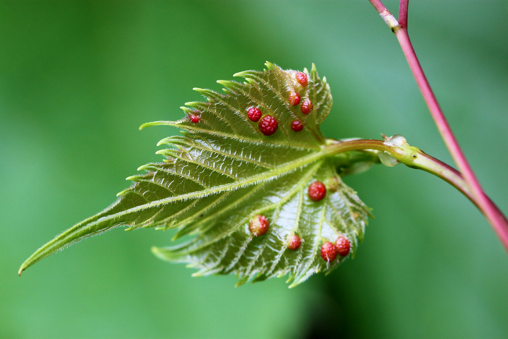 Galls on a leaf