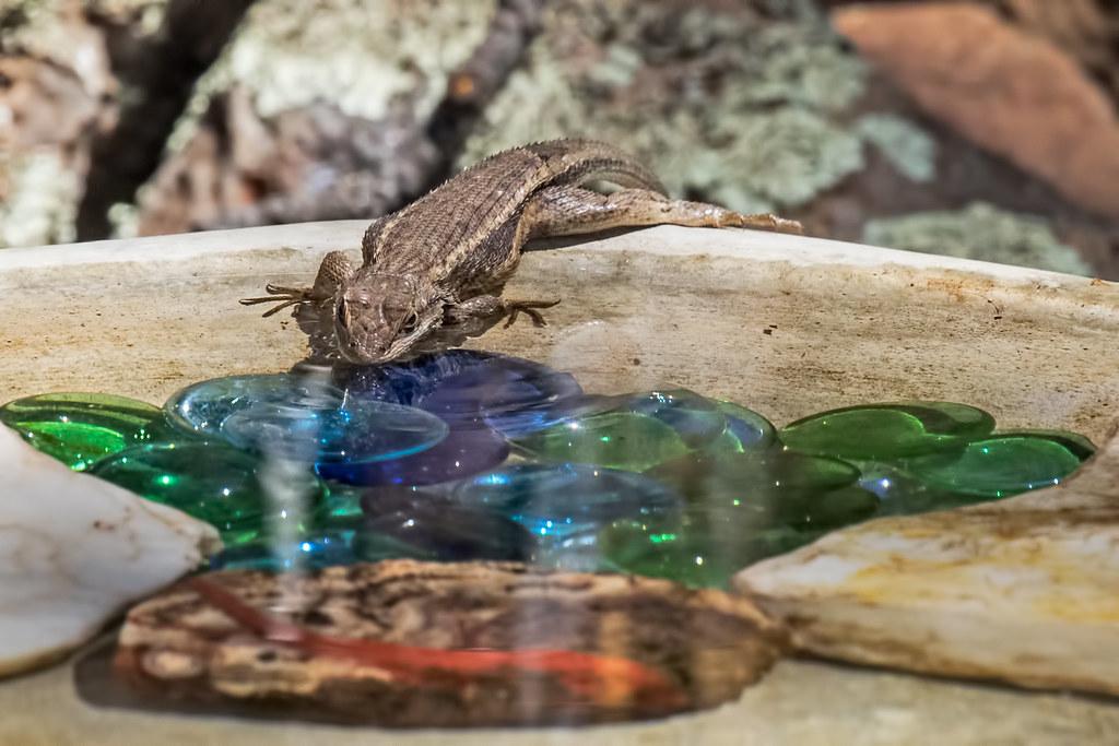 Lizard-17-7D2-063017