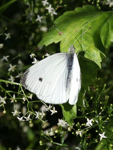 butterfly cabbagewhite oshawa ontario canada groupcharlie pierisrapae