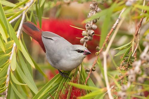 estrilda caerulescens estrildacaerulescens lavenderwaxbill waxbill finch estrildidfinch keekeest kealakukua hawaiiisland hawaii bigisland sp180