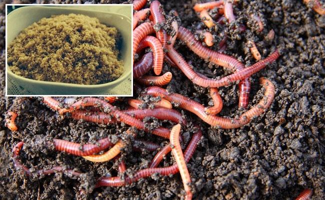 Điều kỳ lạ có thật: Nuôi trùn quế có thể làm ruốc cho người ăn