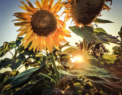 sunset sunflower flower sun plant garden farm greenhouse