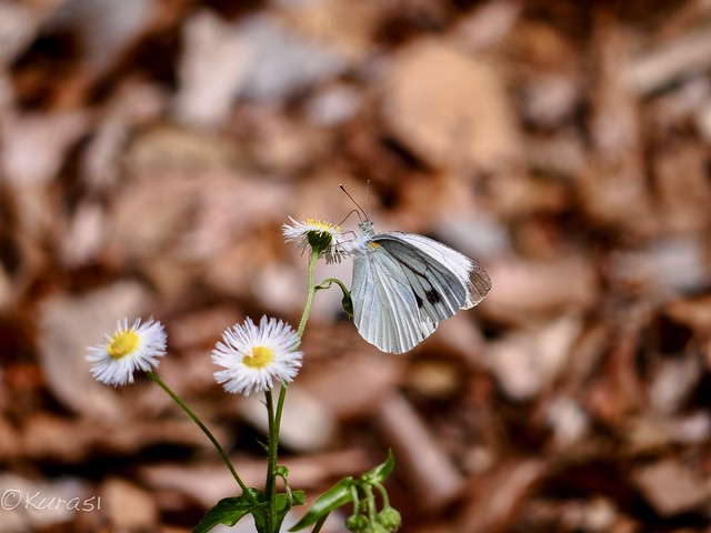 Small White, Panasonic DMC-GX8, Lumix G Vario 45-200mm F4.0-5.6 Mega OIS
