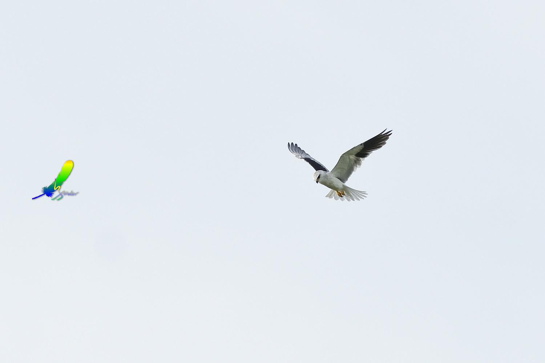 Black-winged_Kite_1808