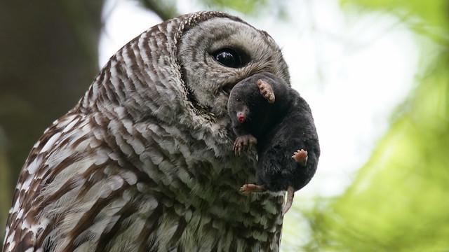 Barred Owl with Mole, Sony ILCA-99M2, Sony 500mm F4 G SSM (SAL500F40G)