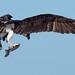Osprey of Sandy Hook | 2017 - 24
