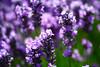 Lavender 140