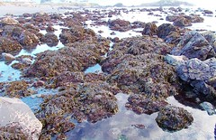 Seaweed bed off Pebble Beach at mid-tide 0223