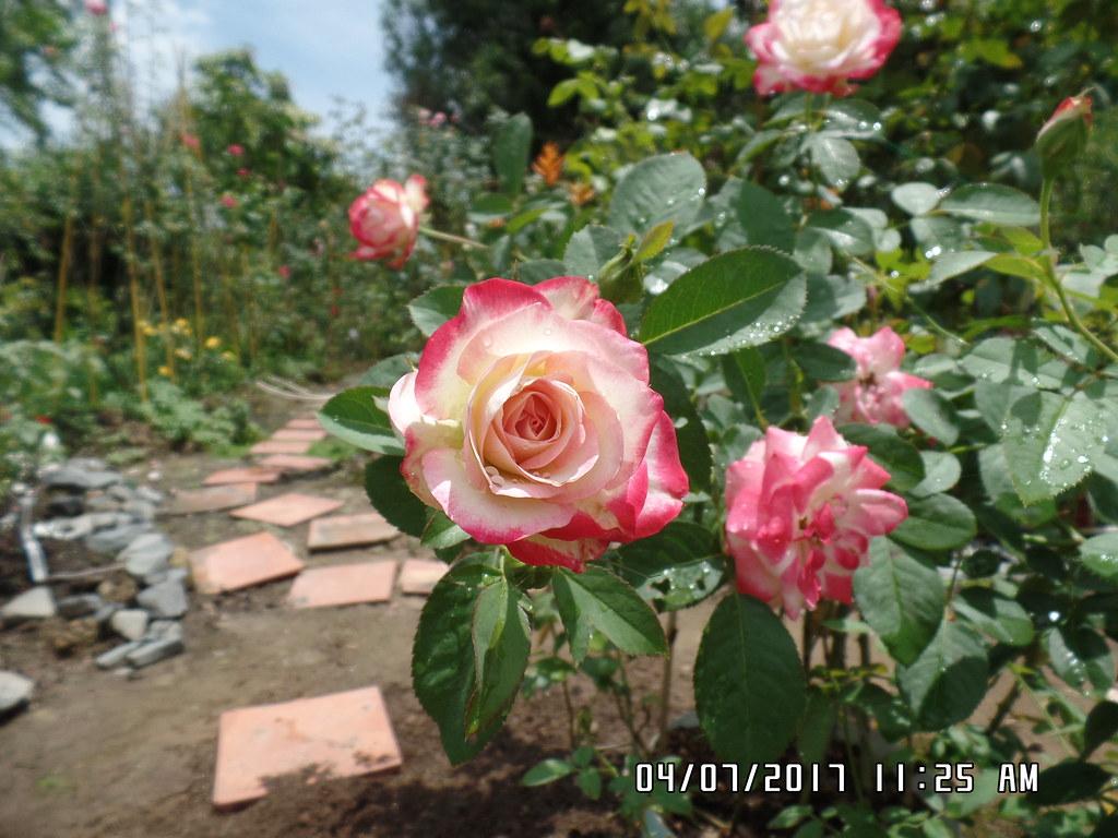 hong ngoai cherry parfait rose (5)