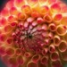 Round Dahlia by jfsampsonphotos