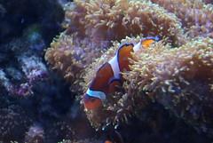 QA Clownfish