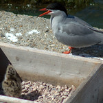 Terns at Preston Docks