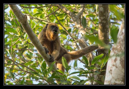 rurrenabaque singehurleurdebolivie sonya77 landscape singe bolivia amazonie bolivianredhowler 2016 alouattasara réserveyacuma paysage rioyacuma alouate mono monkey mammifère prairiesinnondées monoaulladorrojoboliviano beni bolivie pampa thaki sigma150500