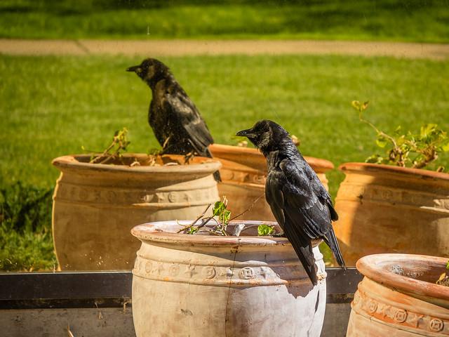 crow and window
