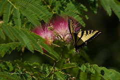 tiger swallowtail and acacia 2797