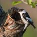 Collared Flycatcher (Ian Tulloch)