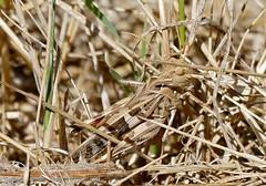 Handsome Cross Grasshopper (Oedaleus decorus)