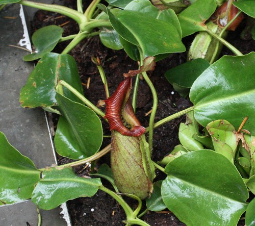 nepenthes_robcantleyi_04