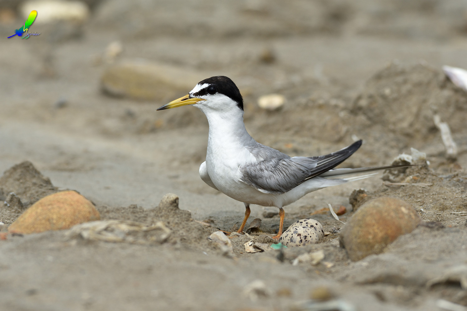 Little_Tern_8758