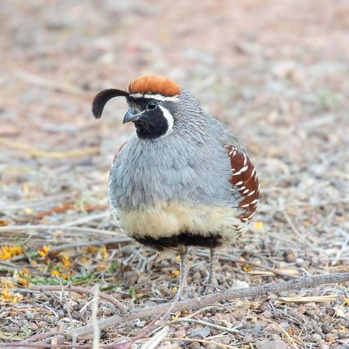 quail american arizona canon nature lasvegas wildlife wild western southwest sun clarkcounty clark vegas bird henderson nevada nevadadesert preserve
