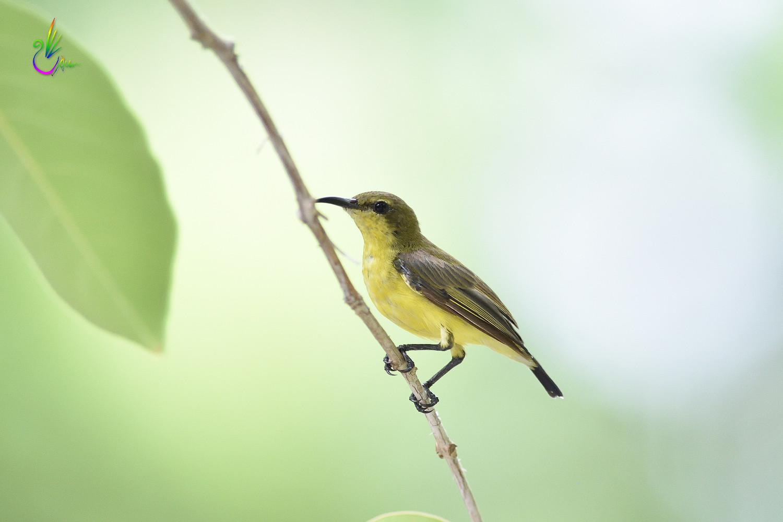 Olive-backed_Sunbird_0282