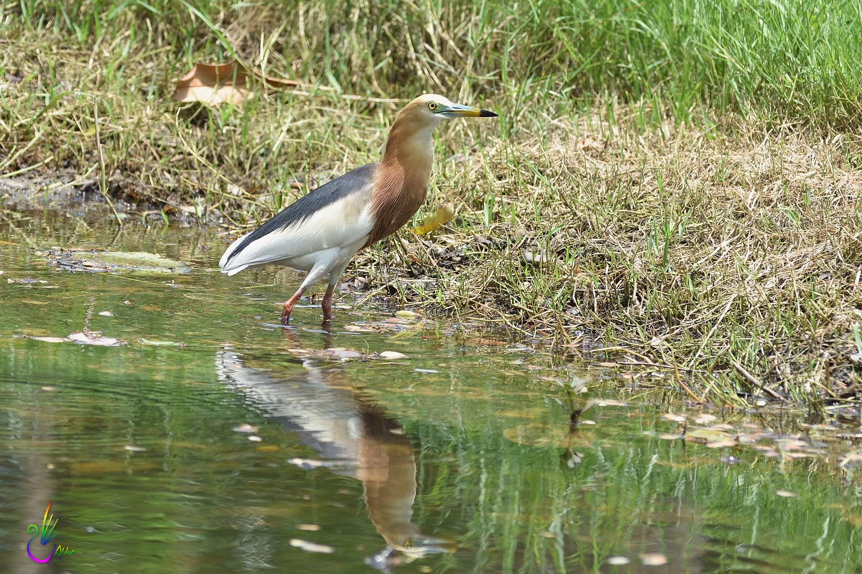 Javan_Pond_Heron_9675