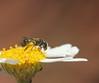 Lasioglossum bee_9001