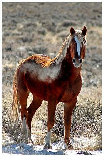 horses equine thewest wildhorses mountains winter sierranevada landscape