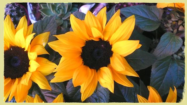 Sunlit sunflower.