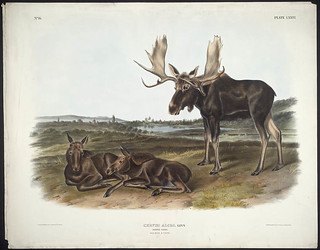 """Moose Deer,"" coloured lithograph by John James Audubon / « Orignal et cerfs », lithographie en couleur de John James Audubon"