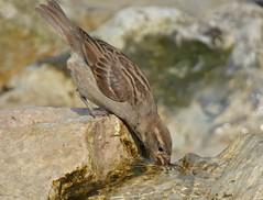 HolderThirsty House Sparrow