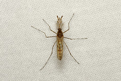 Diptera, Culicidae sp. ♂ (Mosquito) - Everett WA