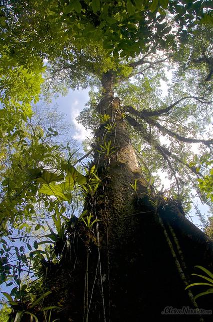 tree 0000 Corcovado, Osa peninsula, Costa Rica