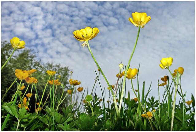 Upwood Meadows Buttercups_1