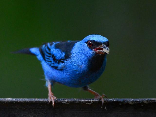 Saí-azul //  Mielero azulejo // Blue Dacnis