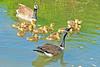 Canada Goose Family 17-0520-3352 by digitalmarbles
