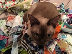 Quilting cat, in my pile of scraps