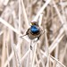 Bluethroat (Alexander Barclay)
