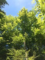 Cimes vertes dans l'azur