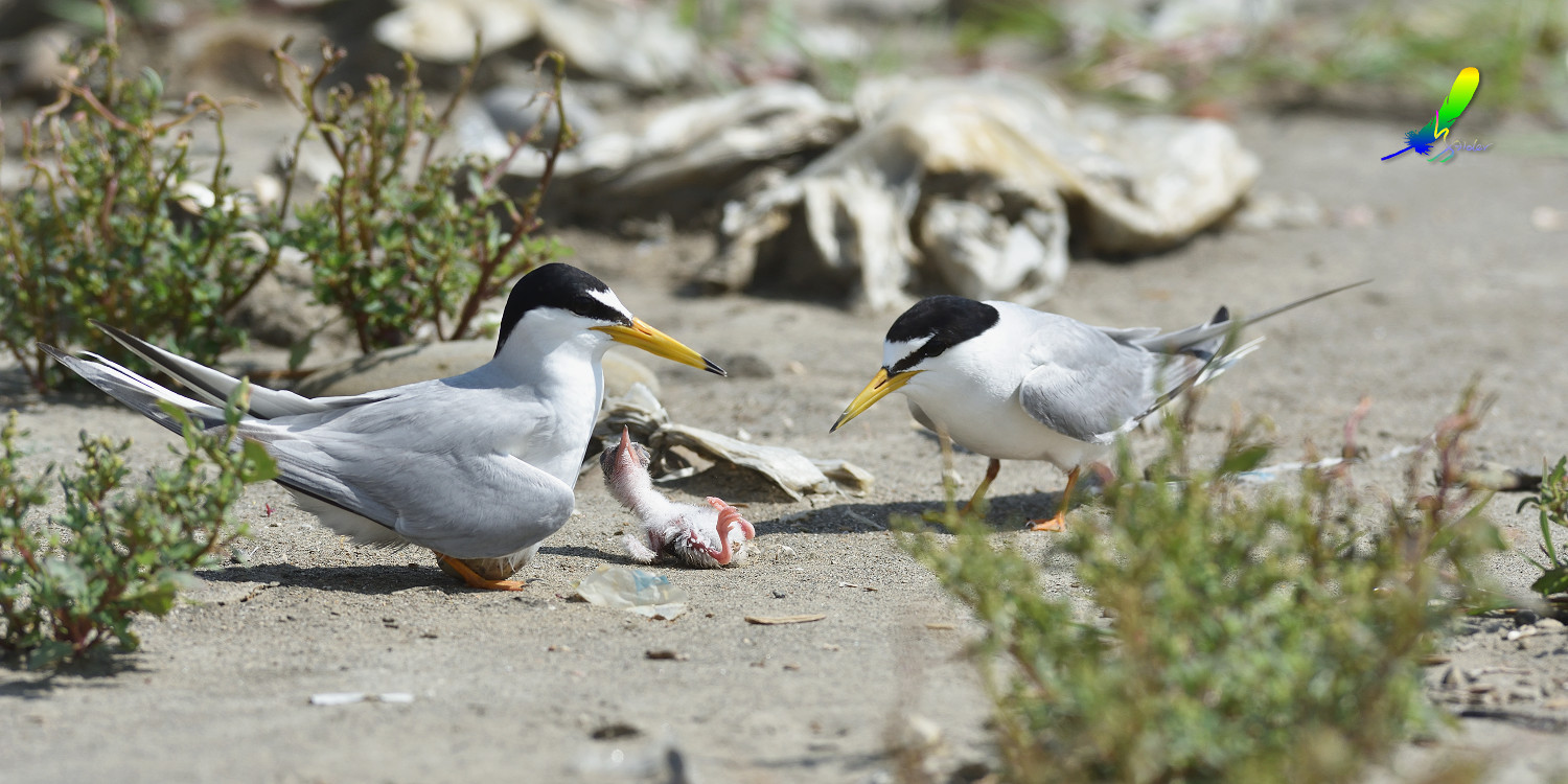Little_Tern_8351