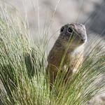 Ground squirrel and grass