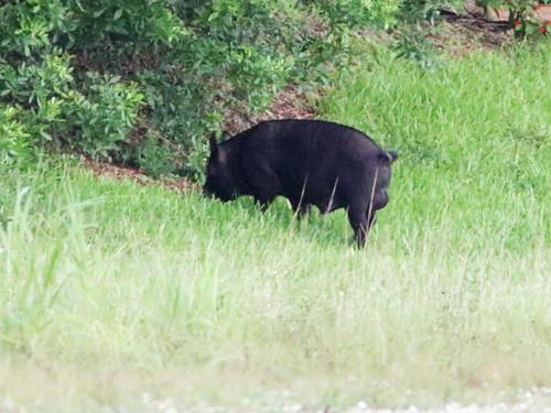 Wild Boar 20170620