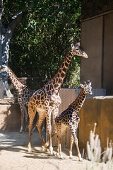 Masai Giraffes at the Los Angeles Zoo