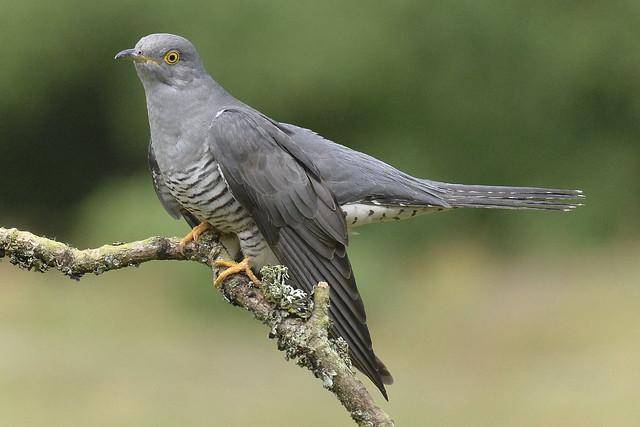 Cuckoo — Cuculus canorus, Nikon D610, AF Zoom-Nikkor 28-100mm f/3.5-5.6G